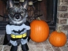 batman-dog-pumpkins