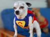 super-chihuahua