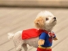 superman-small-dog