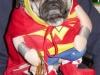 wonder-woman-pug